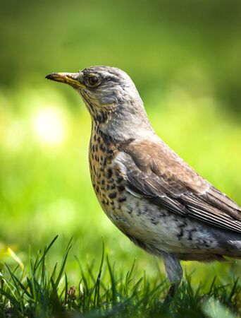 High quality thrush high quality park in a meadow