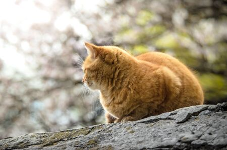 Ginger big cat looking like bread on a beautiful background sitting on a stone