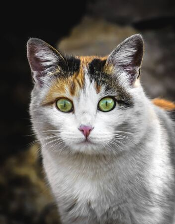 Calico color cat builds funny mines and facial expressions Stock Photo