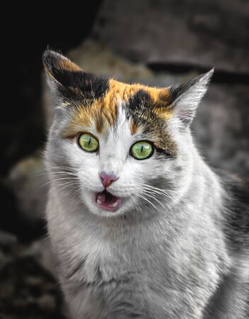 Calico color cat builds funny mines and facial expressions Stock Photo - 130781632