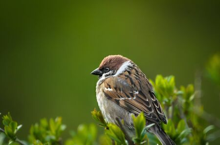 Plump sparrow on a large green background