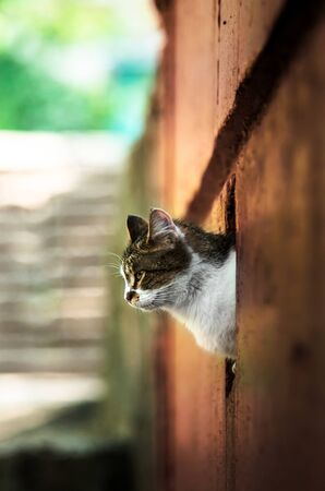 The cat looks out from behind the wall in red 版權商用圖片 - 130781653