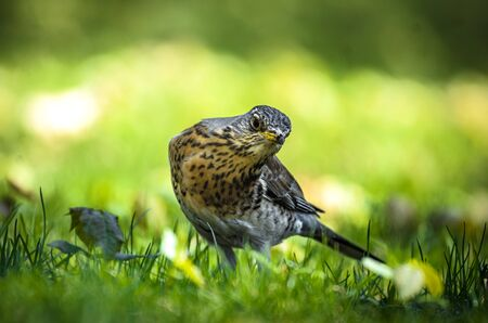 Thrush looks out for prey in the park standing on the meadow