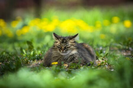 A big and fluffy cat lies among the greenery and flowers of dandelions Stock Photo