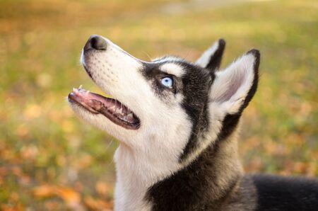Husky breed dog is training, portrait