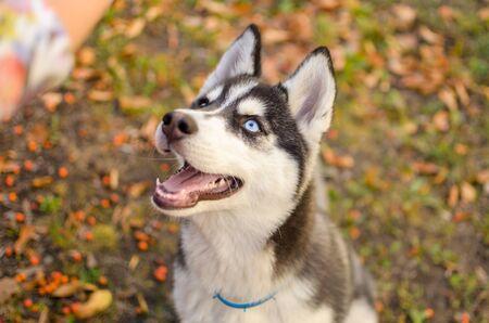 Husky breed dog is training, smiling dog heterochromia