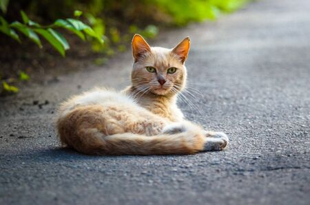 Red cat lying on the pavement in the middle of the road Stock Photo