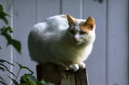 Almost completely white cat sits on the fence portrait