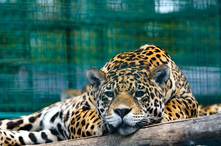 Portrait of a lying jaguar very close