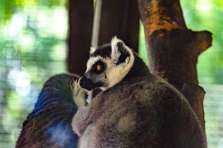 Portrait of a lemur at the zoo Фото со стока