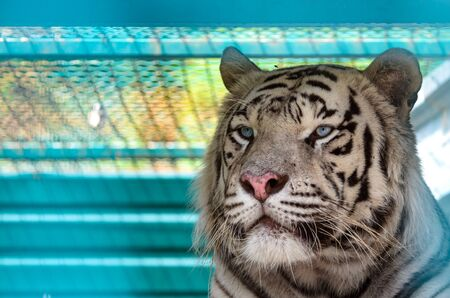 Portrait of Bengal white Tiger on a light background Stock Photo