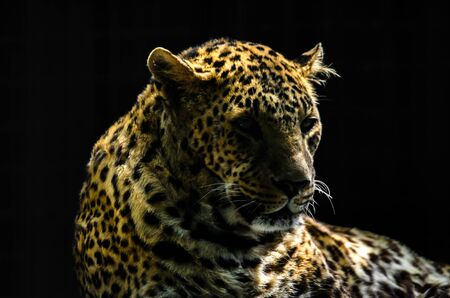 Portrait of a leopard on a black background