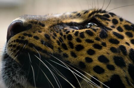 Jaguar closeup photo