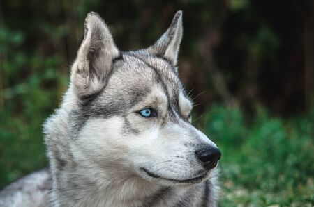 Portrait of a Malamute dog with blue eyes on a green background Banco de Imagens