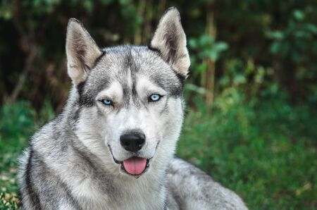 Portrait of a Malamute dog with blue eyes on a green background with the open mouth Banco de Imagens