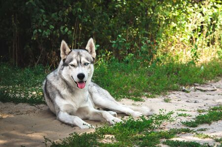 Malamute dog lying on the ground in the village Banco de Imagens