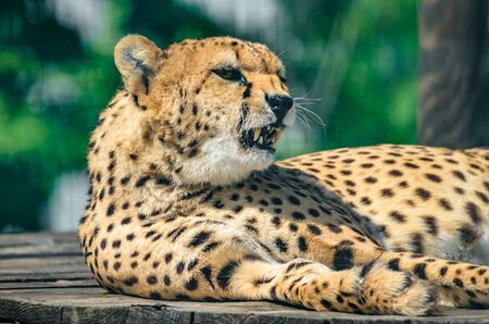 Cheetah portrait and facial expression