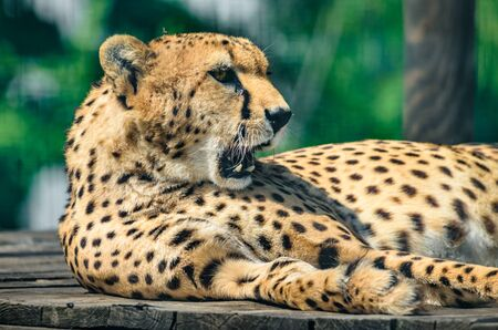Cheetah portrait and yawn Stock Photo