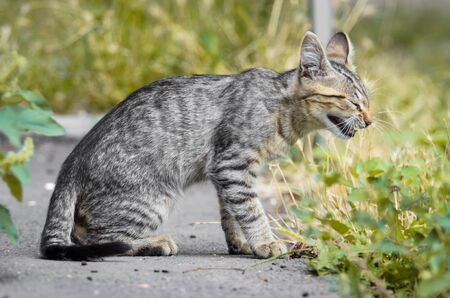 Young yawning kitten looking like a serval in profile