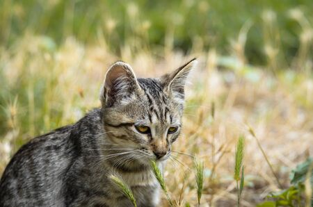 Young yawning kitten looking like a serval in the field grass