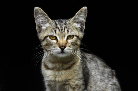 Portrait of a beautiful young gray kitten looking like a serval on a black background