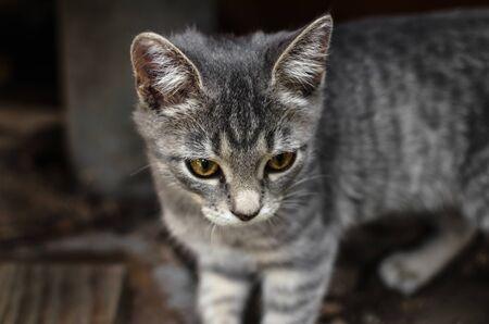 Portrait of a rustic gray kitten standing