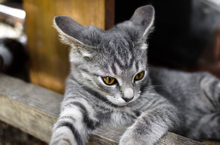 Portrait of a cunning and curious gray kitten lying under the table