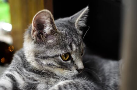 Portrait of a relaxed gray kitten lying under the table