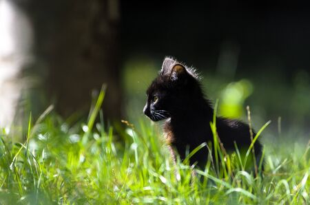 Black kitten under the sun in the summer grass Stock Photo