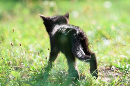 Cute little kitten is walking in the grass in summer Stock Photo