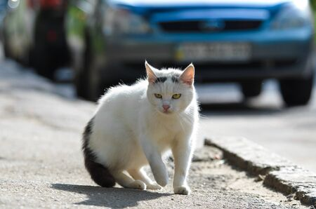 Street white cat walks in the middle of the road