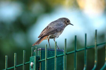 Songbird sitting on a fence Standard-Bild