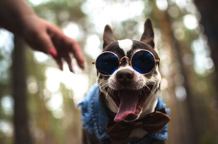 Stylish chihuahua dog in glasses yawns Stock Photo