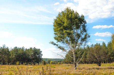 Lonely birch tree in the field