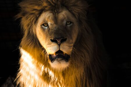 Portrait of a lion on a black background in bright light, emotions Stock Photo