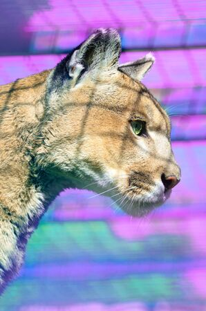 Cougar on a purple background for wallpaper Stock Photo