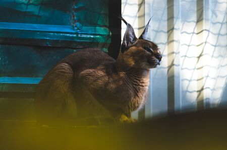 Seated caracal in a peaceful pose