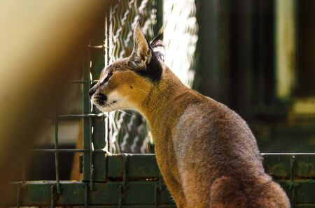 Caracal in the back in dark colors, caracal neck