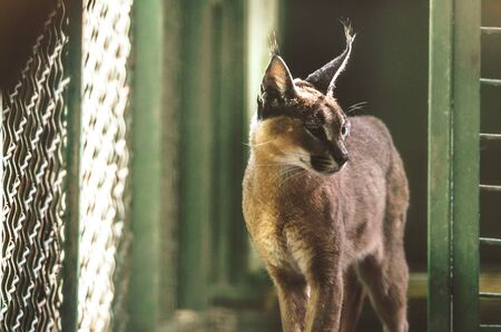 Caracal in a nursery in a beautiful cocoa light