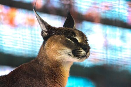 Contented Caracal in profile on a beautiful aqua background