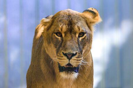 Emotion lioness portrait on a homogeneous background