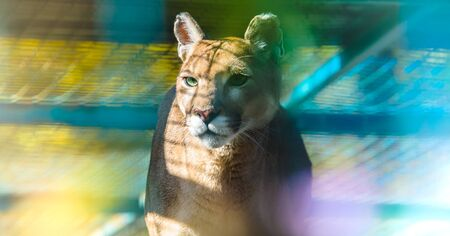Cougar in a profile for a banner with a beautiful background