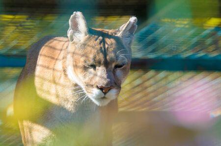 Puma wild cat with beautiful background