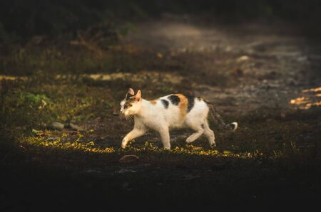 Calico cat in the distance in a walking pose Stock Photo