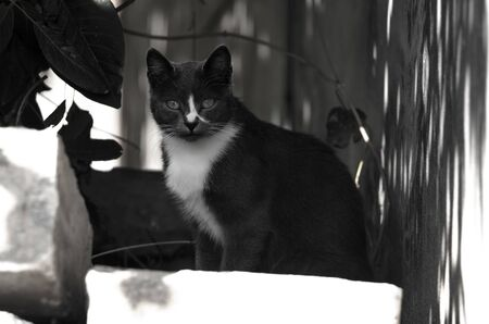 Black and white photo of a black and white cat Stock Photo