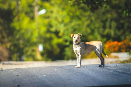 Labrador crossbreed dog stands on a road in a village