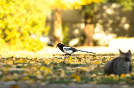 Magpie in bright golden colors of autumn