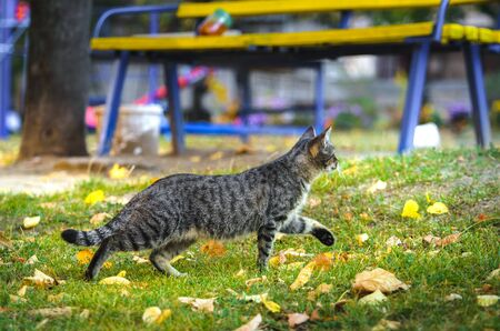 Cat sneaks on the street, autumn leaves on the ground