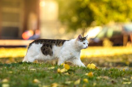Cat hunts on a golden autumn day