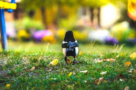 Magpie photo side autumn day
